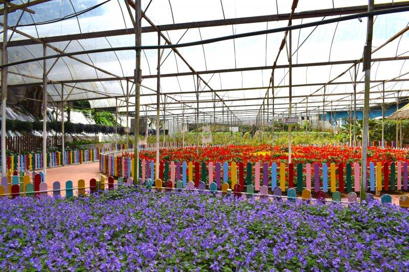 ゲンティンストロベリーレジャーファーム(Genting Strawberry Leisure Farms)のラベンダー園